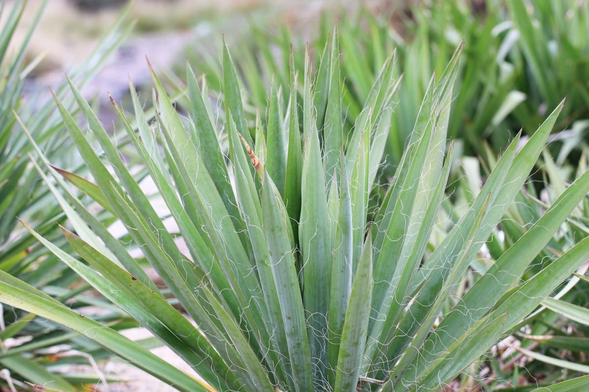 Fädige Palmlilie (Yucca filamentosa)