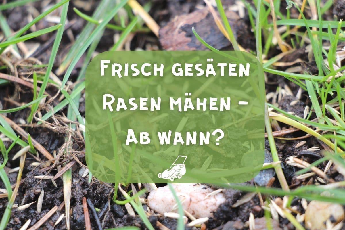 Frisch gesäten Rasen mähen
