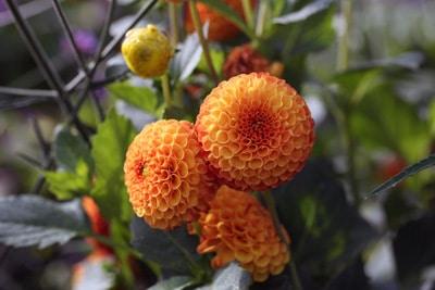 Ball Dahlie - Dahlia hortensis