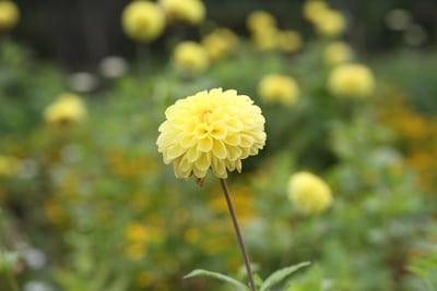 Garten Dahlie - Dahlia hortensis - Symphony