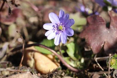 Siebenbürger - Leberblümchen - Hepatica transsilvanica