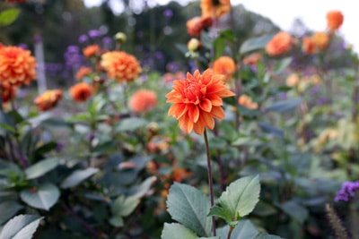 Semikaktus Dahlie - Dahlia hortensis