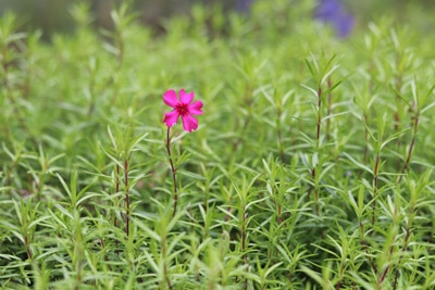 Teppichphlox - Phlox subulata 'Scarlet Flame'