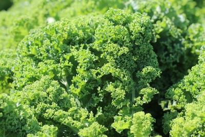 Grünkohl - Brassica oleracea