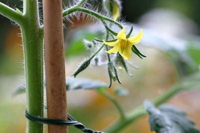 Tomatenblühte