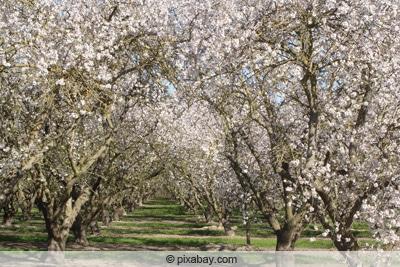 Aprikose - Marille - Prunus armeniaca