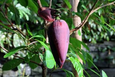 Banane - Musa basjoo