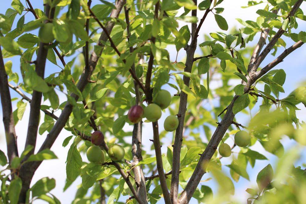 Pfirsichbaum - Prunus persica