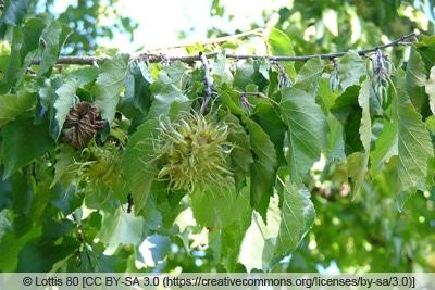 Haselnussbaum - Baumhasel - Corylus colurna