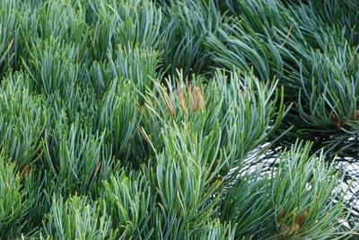Mädchenkiefer - Pinus parviflora