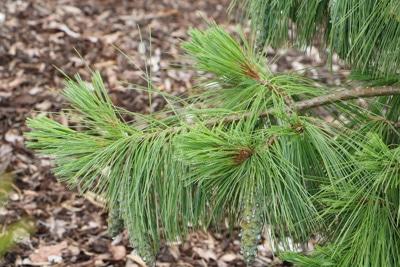 Zapfenkiefer - Pinus schwerinii wiethors