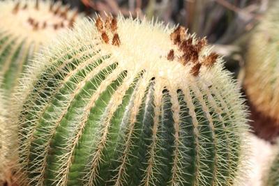 Schwiegermutterstuhl - Echinocactus grusonii