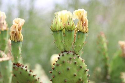 Feigenkaktus - Opuntia cymochila