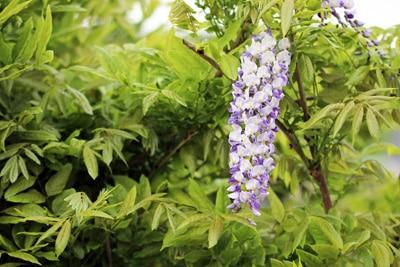Blauregen - Glyzinie wisteria