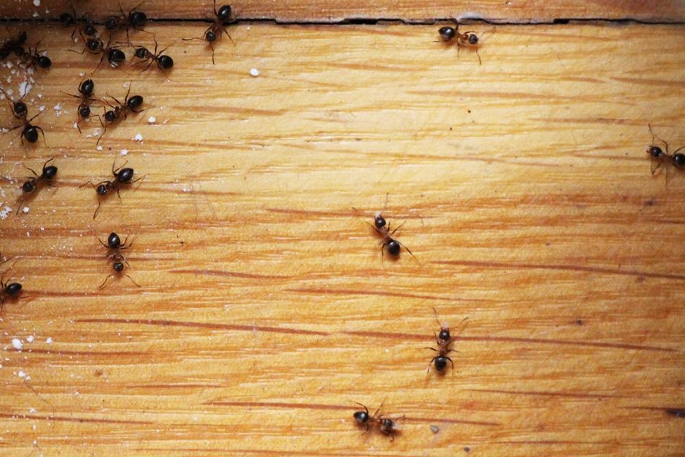 Ameisengift - natürliche Alternativen/Hausmittel selber ...