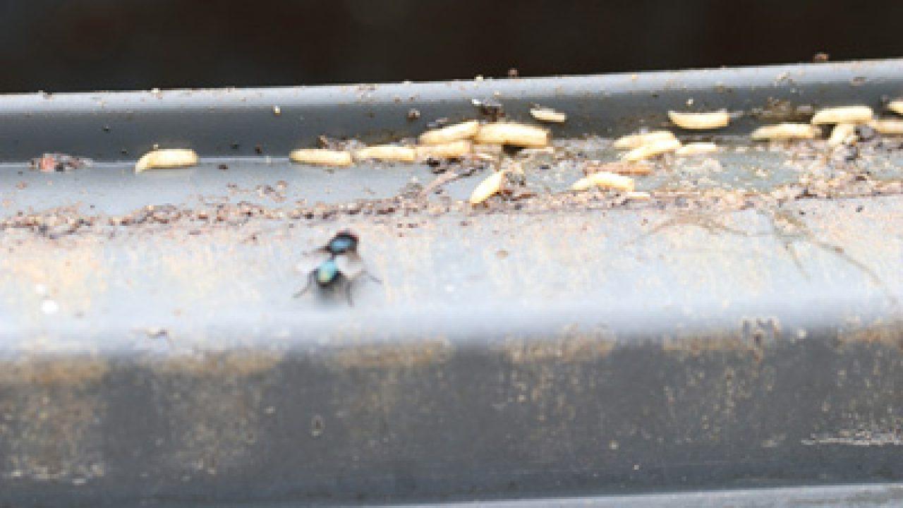 Fliegenmaden loswerden - so werden Sie Schmeißfliegen los