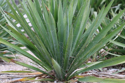 fädige Palmlilie - Yucca Palme