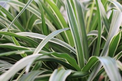 Grünlilie - Beamtengras - Chlorophytu comosum