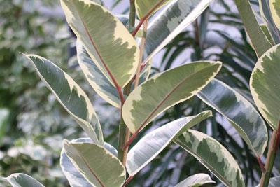 Gummibaum - Ficus elastica