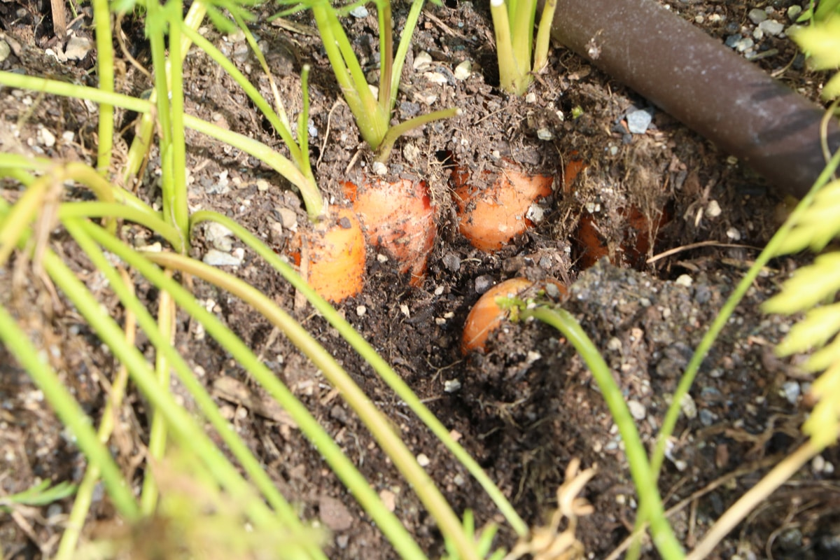 Möhren (Daucus carota)