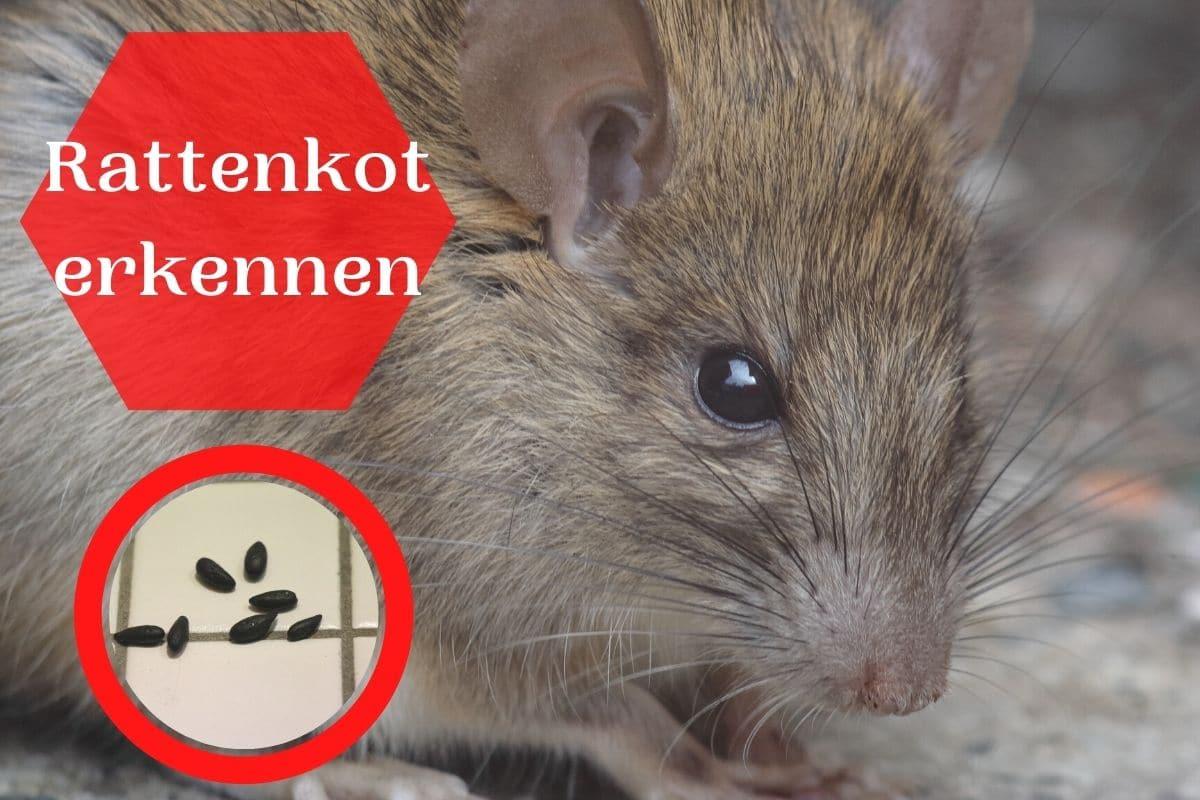 Rattenkot erkennen