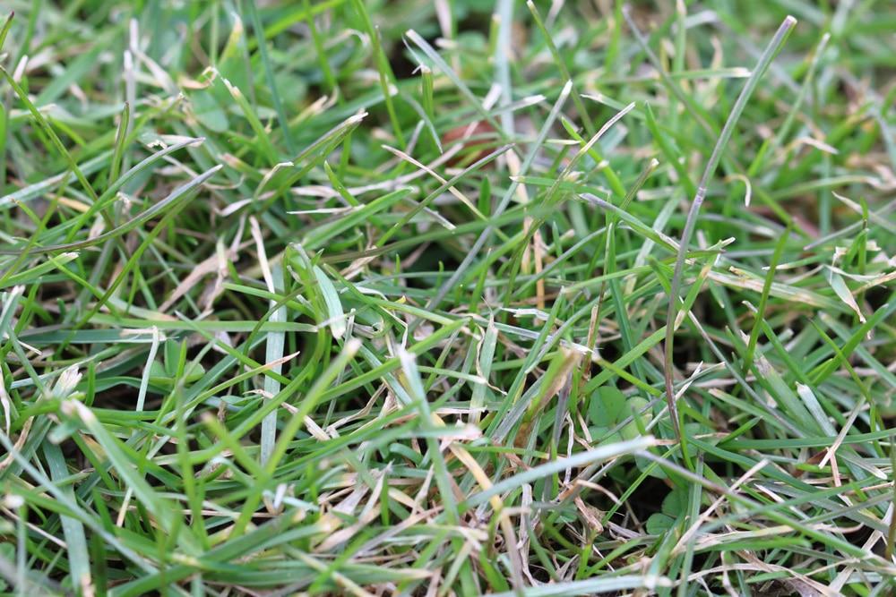 Rasen fleckig