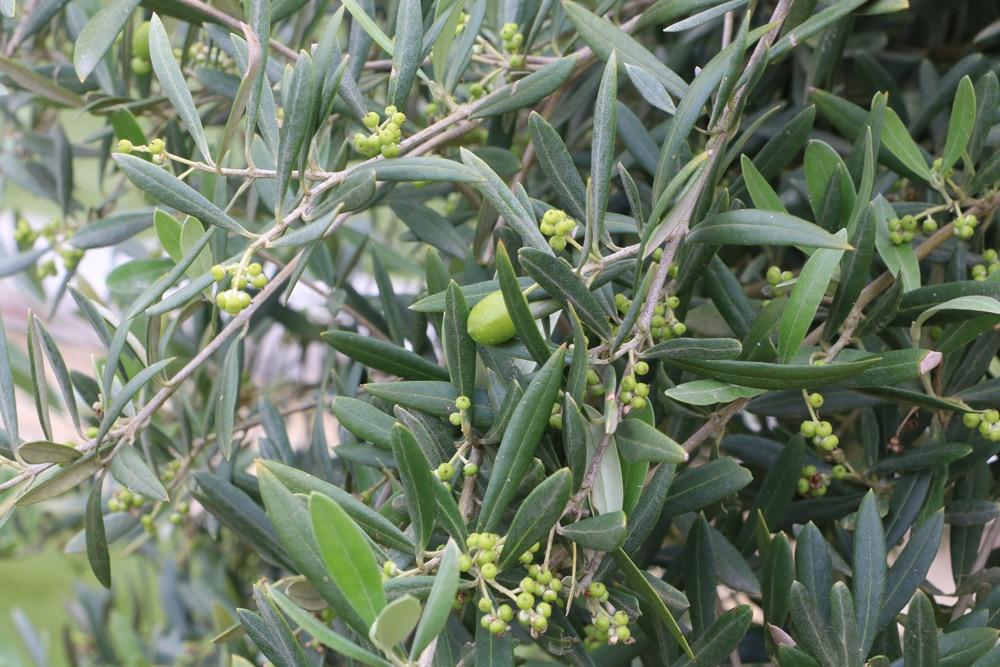 Olivenbaumchen Pflege Anleitung Gartenlexikon De