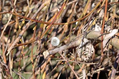 Saalweide - Salix caprea