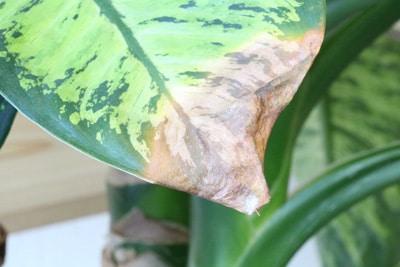 Dieffenbachia mit bräunlicher Spitze