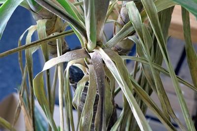 Palme gelbe braune Blätter