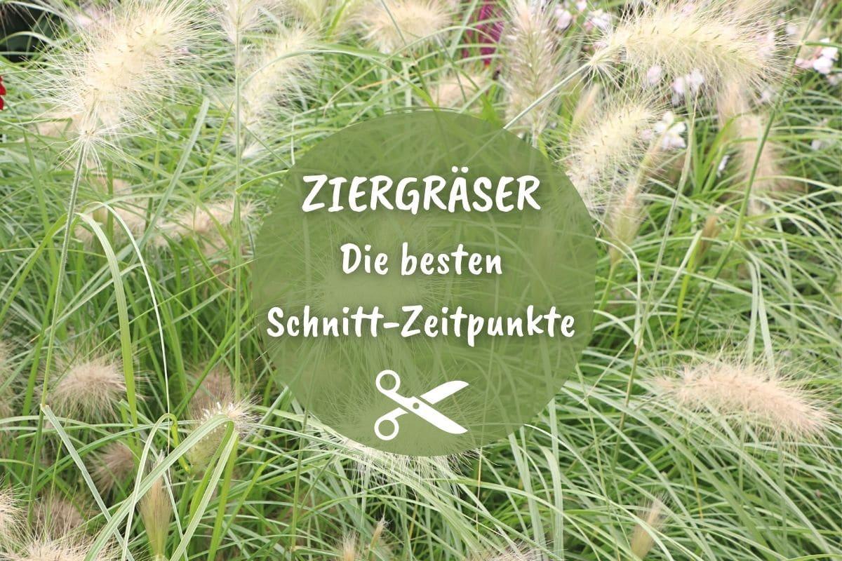 Lampenputzergras - Pennisetum alopecuroides