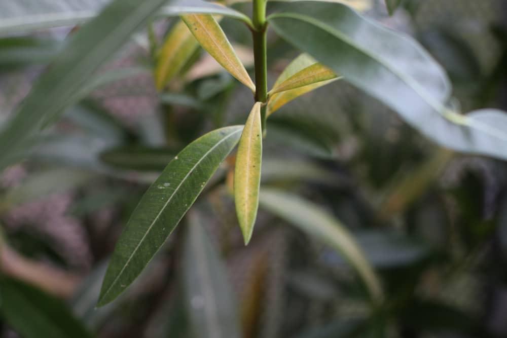 Oleander vertrocknet