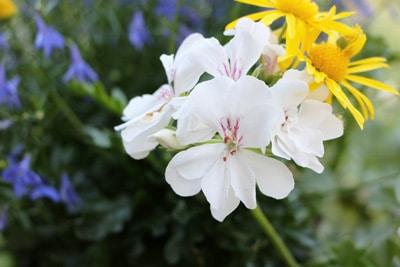 Geranie - Pelargonie - Pelargonium