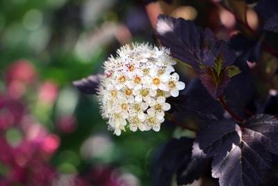 Physocarpus opulifolius - Teufelsstrauch