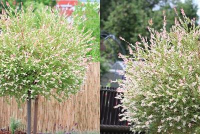 Harlekinweide - Salix integra