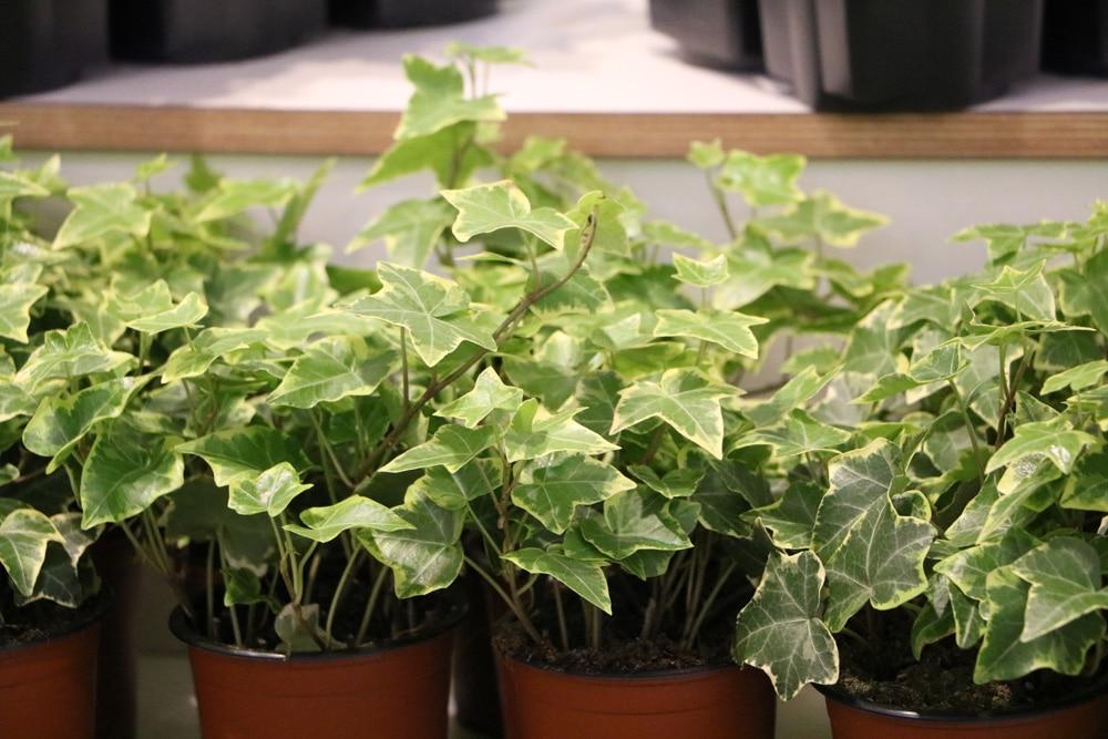 Efeu als winterliche Balkonpflanze