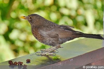 Vogelfutter - Amsel - Rosinen