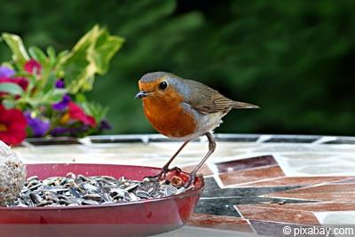 Vögel füttern Rotkehlchen