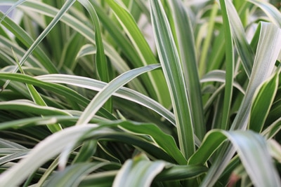 Grünlilie - Chlorophytum comosum - Beamtengras