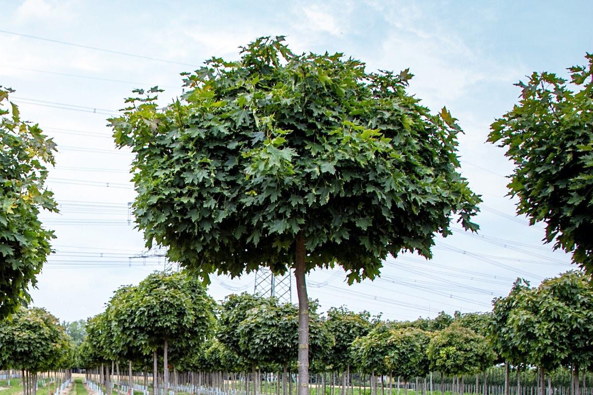 Kugelahorn - Acer platanoides 'Globosum'