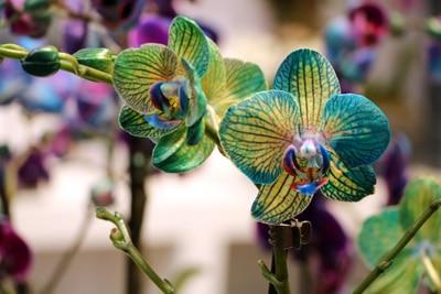 Orchidaceae phalaenopsis - Orchideen