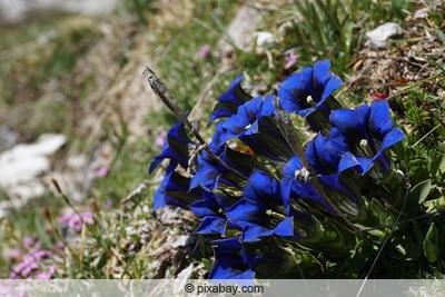 Enzian Pflanze Gentiana alpina