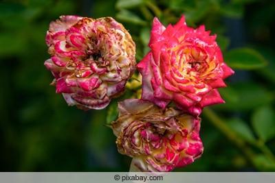 Ein Trio verblühter Rosenblüten