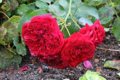 verbluehte rosen schneiden rot planto trio