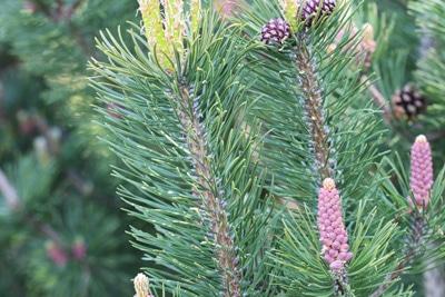 Bergkiefer - Pinus mugo