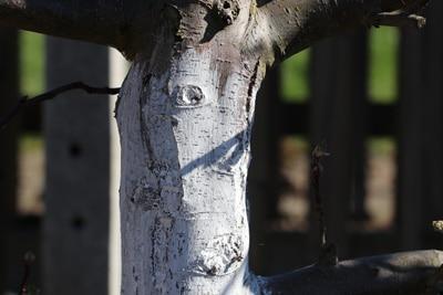 Baum mit Kalkanstrich