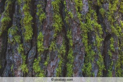 Moosbewuchs an Baumstamm