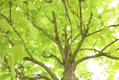 wie trompetenbaum schneiden