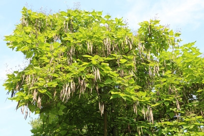 trompetenbaum catalpa bignonioides
