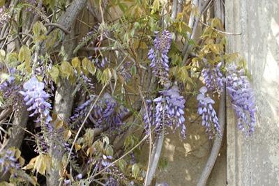 blauregen wisteria